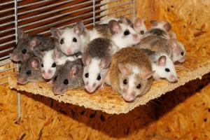 mice-800875_1280